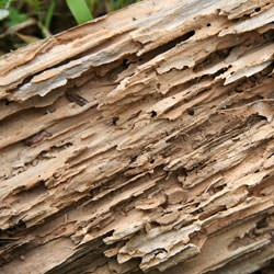 Termite damage to wood -- with ragged galleries.